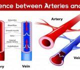 Sự khác biệt giữa động mạch và tĩnh mạch